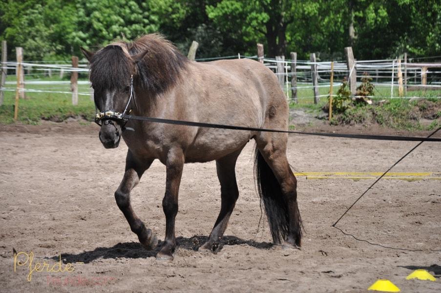 Schiefes Pferd wird mit Bodenarbeit an der Longe geradegerichtet